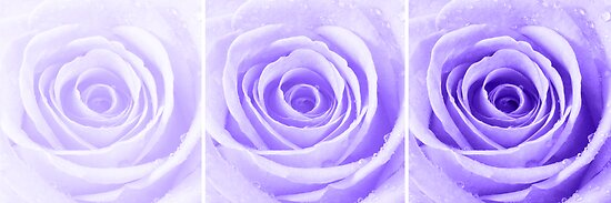 Purple Rose with Water Droplets Triptych by Natalie Kinnear