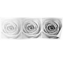 Silver Rose with Water Droplets Triptych Poster