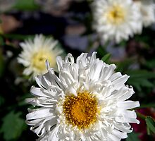Daisies in Pisang by SerenaB