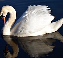 Swan with reflection. by JAWPhotography