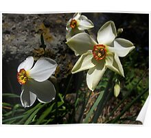 Smooth Narcissus Poster