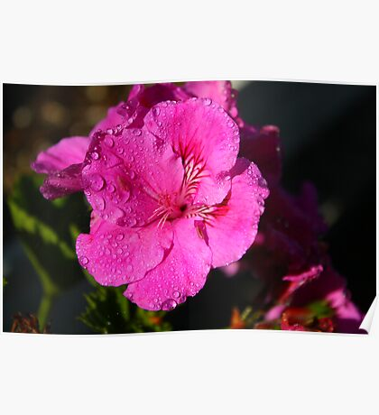 Pink Flower With Dew Drops Poster