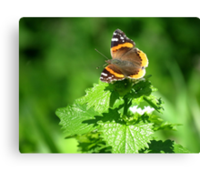 Red admiral in a Sea of Green Canvas Print
