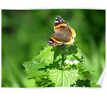 Red admiral in a Sea of Green Poster