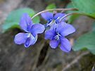 Wild Violet by Ron Russell