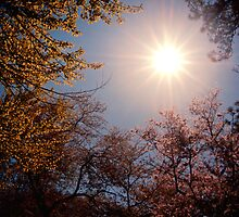 Sunlight and Cherry Blossoms - Brooklyn Botanic Garden by Vivienne Gucwa