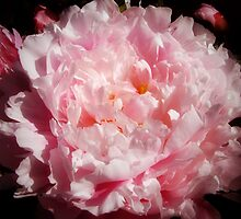 Pink Peony by Mary  Lane