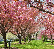 Cherry Blossoms - NYC by Alberto  DeJesus