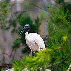 White Ibis  by Bevlea Ross