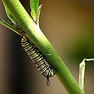 CATERPILLAR OF THE MONARCH BUTTERFLY.........! by Roy  Massicks