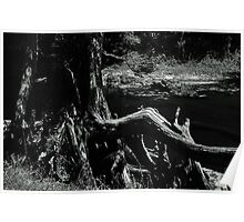 Bent Cypress Tree Poster