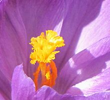 Purple Crocus  by nikspix