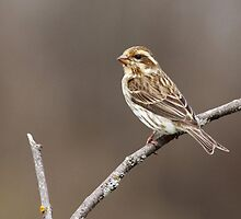 Purple Finch - Female by Bill McMullen
