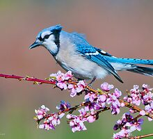 Blue Jay and Peach Blossoms by (Tallow) Dave  Van de Laar