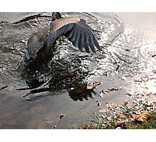 Fishing Is Hard Work, Great Blue Heron in Action Photographic Print
