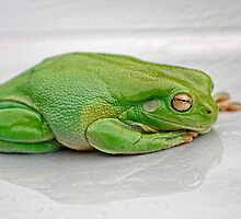 Green Tree Frog by Jodie Williams