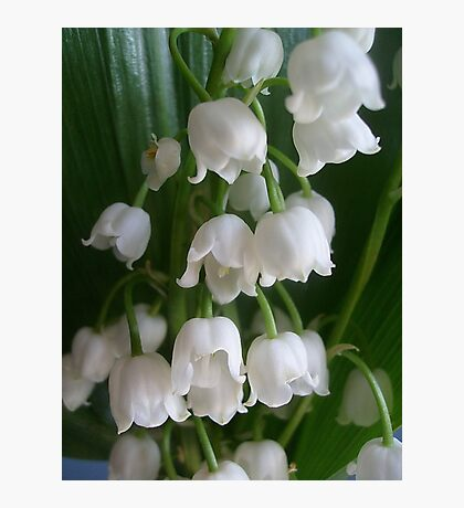 Lily of the valley Photographic Print