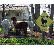 Alpaca Crossing Photographic Print