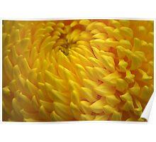 Yellow Crysanthemum Poster