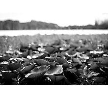 Lillies - Lennox Head Photographic Print
