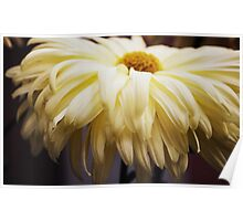 Soft Yellow Chrysanthemum Poster