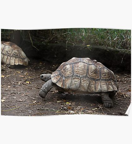 Leopard Tortoise: Watch out Mr. Hare ! Poster