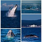 Humpback Whales by Jaxybelle