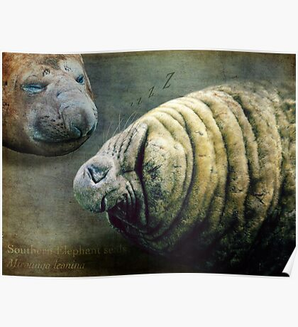 what elephant seals do best....snoozing Poster
