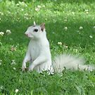 White Squirrel 01 by FandomsFriend