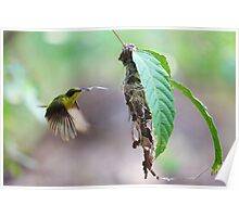 Yellow-bellied Sunbird Poster