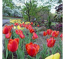 Park Tulips Photographic Print