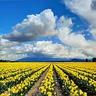 Blanket of Sunshine - Daffodil Fields 1 by Tracy Friesen