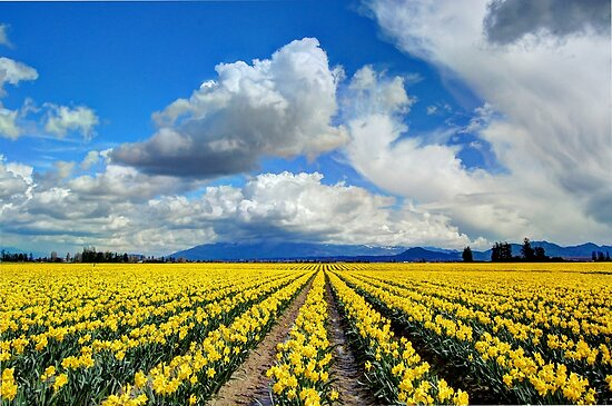 Blanket of Sunshine - Daffodil Fields 1 by Tracy Friesen
