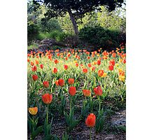 Tulips For Spring Photographic Print