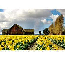 The Old Barn - Daffodil Fields 2 Photographic Print