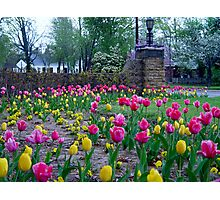 Tulips On Honor Heights Drive Photographic Print