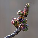 Cherry Blossom #1 by Barry Doherty