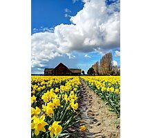 Daffodil Fields 5 Photographic Print