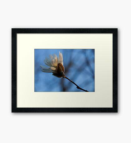 Blue Sky Magnolia Blossom - Dreaming of Spring Framed Print