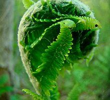 Natal Curl - Fern Fiddlehead by MotherNature