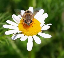 Hoverfly on Daisy - I see you!!! by Jo Nijenhuis