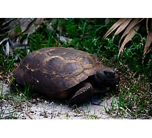 Gopher Tortoise Photographic Print