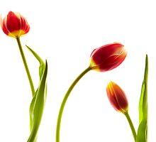 Tulips by Cheryl Vorhis