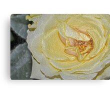 Flower- yellow rose Canvas Print