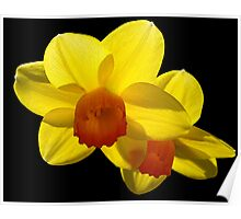 Floating Daffodils. Poster
