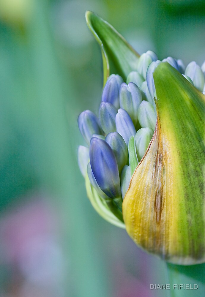 Agapanthus in Blue  by DIANE  FIFIELD