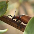 Beetle crawling up a twig. by Adrian Cusmano