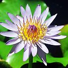 Waterlily by Margaret Stevens