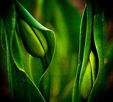 Baby Tulips by Lynnette Peizer
