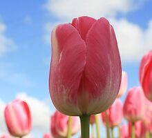 Tulips and the Sky by mdruda
